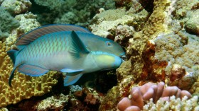 PARROTFISH NUMBERS RISE AS REEF QUALITY DECREASES.