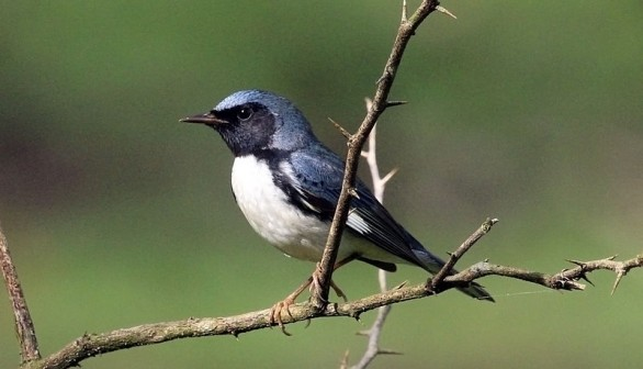 Global Warming Impacts Migration Pattern of  Black-Throated Warbler