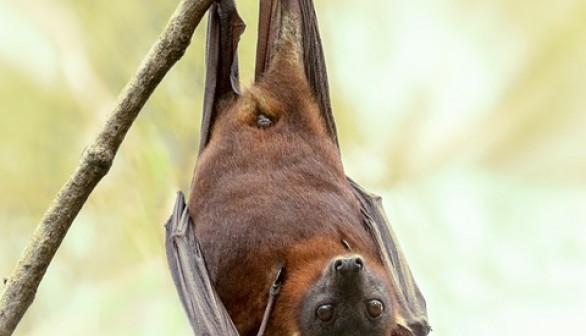 Grey-Headed Flying Foxes Battles Gunshot Wounds and Brutality after Surviving Extreme Heat and Bushfires