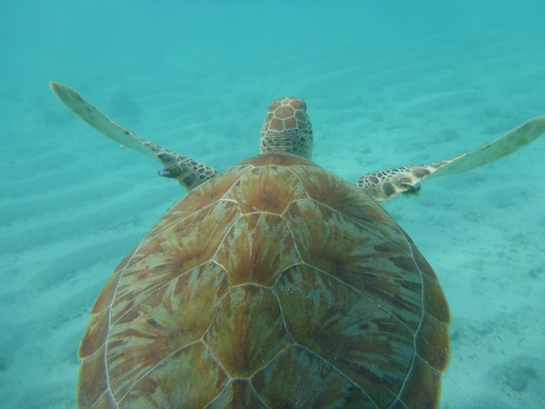 Smell of Ocean Plastic is Attractive to Sea Turtles