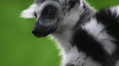 New Discovery: Male Lemurs Use Love Potions to Attract Mates