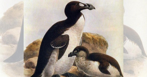 The Evolution of Large Bird Brains