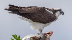 Found: Microplastics in Florida's Birds of Prey