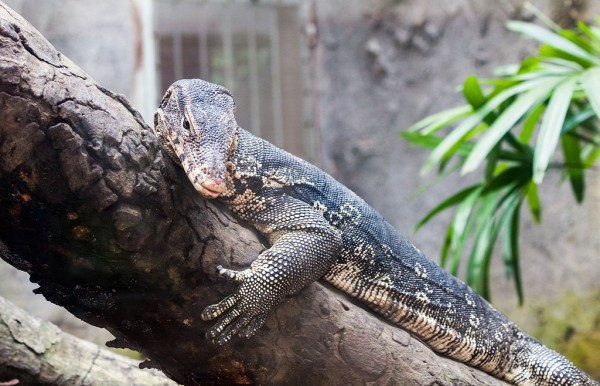 Viral: Unidentified Man Rescues Monitor Lizard Hailed in Social Media