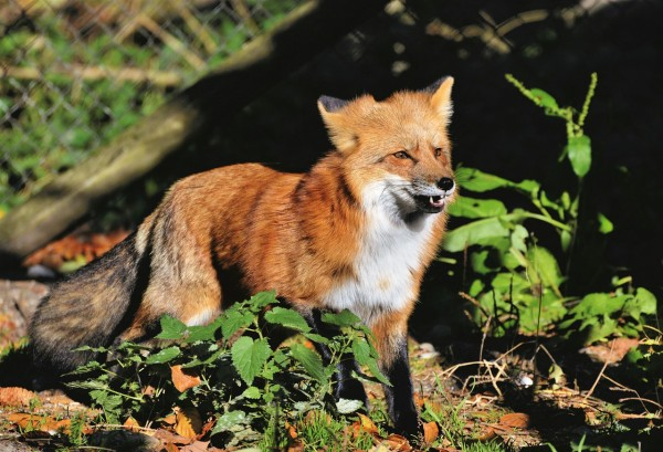 Children Gets Bitten by Fox Tested Positive for Rabies