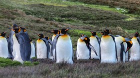 New Study Discovers High Laughing Gas Content in King Penguins in the Antarctic