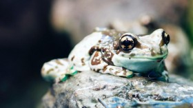 Nature World News - Spotted-Thighed Frog (Litoria cyclorhyncha)