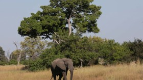 More than 150 Elephants Died Mysteriously in Botswana