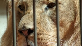 Lions in Coronavirus Lockdown