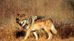 Mexican Gray Wolf Cubs Successfully Integrated Into Wild Packs to Be Raised as their Own