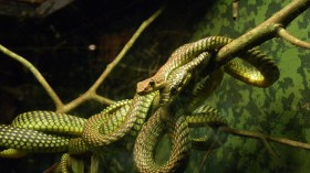 Scientists Solve the Mystery of the Movement and 'Flight' of Flying Snakes