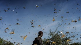Experts: Plague of Locust in East Africa Linked to Climate Change
