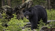 Sensational Bruno the Bear gets Tranquilized and Relocated to a Safer Place