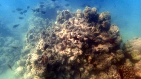 Scientists Discover and are Baffled by Origin of New Species of Red Algae Threatening Coral Reefs of Hawaii