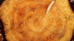 Six Centuries of Tree Rings Yield Information on Grim Weather Anomaly during the Mid 20th Century