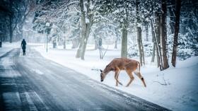 COVID-19 Lockdown Causes Fewer Deer Roadkill, Which Could Increase Deer Population