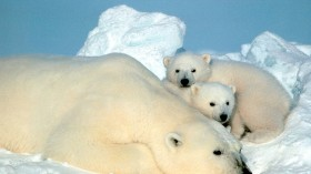 Nature World News - Searching for Misha: the life and tragedies of the world's most famous polar bear
