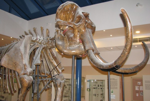 Mammoth Skeletal Specimen Found Well-preserved from a Lake in Siberia