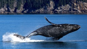 Young Humpback Whale Found Dead in Ocean Shores Died from Blunt Force Trauma