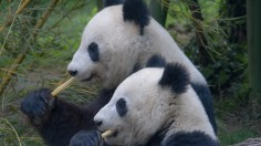 Saving Giant Panda at the Expense of Leopards, Snow leopards, Wolves and Asian wild dog