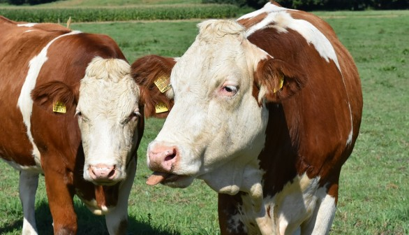 Study Found Dairy Cows Form Complex Relationships Which are Disrupted When  Put into New Groups