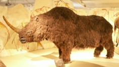 Genome Study: Woolly Rhino Extinction Linked to Climate Change, Not Human Hunting