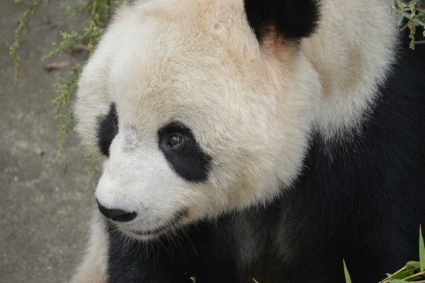 Giant Panda Gives Birth at Smithsonian National Museum