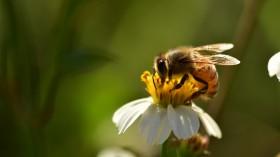 How Almonds Impact Honeybees