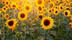 Sunflower Fields in Times of Coronavirus