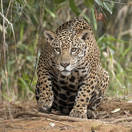 Amazon Fires in the Pantanal Threaten Jaguars and Reserves