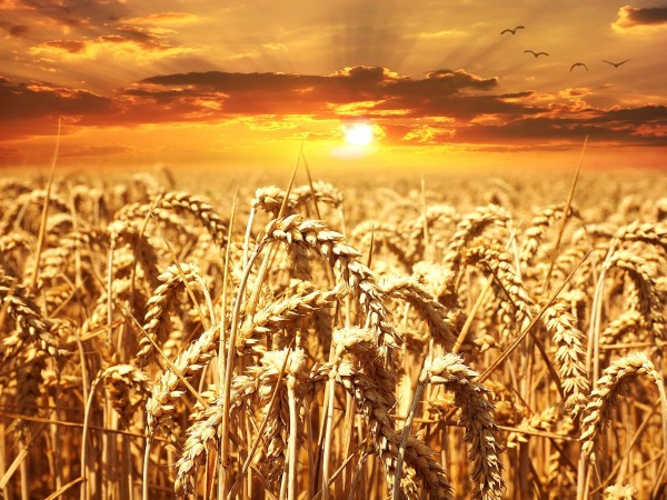 Large Scale Study on Genomics of Wheat Shows Large Diversity Useful for Crop Improvement