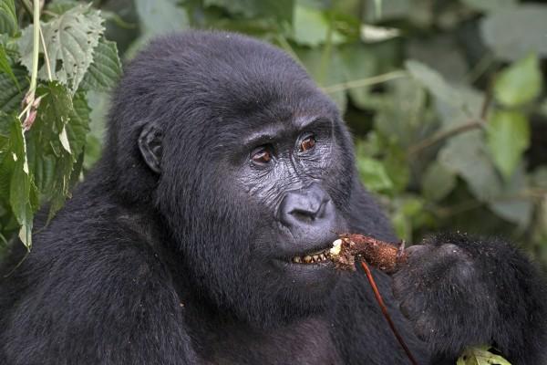 Birth of Five Baby Gorillas in Bwindi, Uganda Brings Joy to Mountain Gorilla Conservation Workers