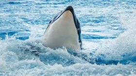Orcas are Ramming and Damaging and Harassing Boats near Portugal and Spain, from Galicia to Strait of Gibraltar