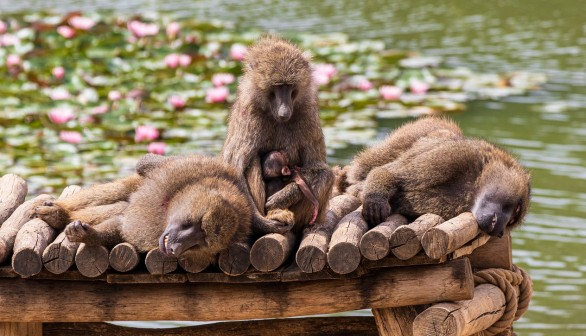 Friends with Benefits: Male Baboons with Female Friends Live Longer