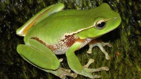 After the Bushfires: Australians Recorded Frog Calls and Gave Amazing Results