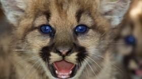 Mountain Lion Cub Rescued for California Fire, Treatment Ongoing