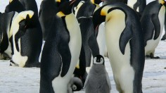 Melting Antarctic Uncovered Preserved 800- to 5,000-Year-Old Penguins