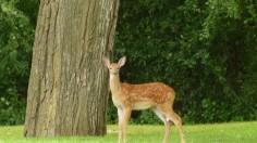 Missouri Department of Conservation: Hemorrhagic Disease Found in Deer
