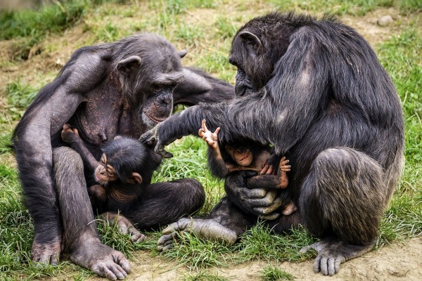 Teasing Behavior in Apes: Human Toddlers, and Infants May Improve Our Understanding of Evolution and Humor