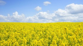 Mycovirus Converts Fungus from Deadly Infectious Organism to Beneficial Rapeseed Immune System Booster