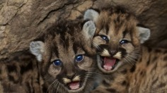 Two More Mountain Cubs Adopted by Oakland Zoo from California Wildfire