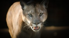 Mother Cougar in Slate Canyon in Utah Follows and Threatens Jogger for Six Minutes