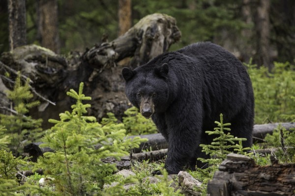 North Carolina Warning: Bear Activity on Rise as they Prepare for Hibernation
