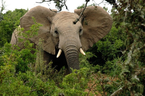 Forest African Elephants Create Network of Elephant Trails for Local People and Animals in Africa