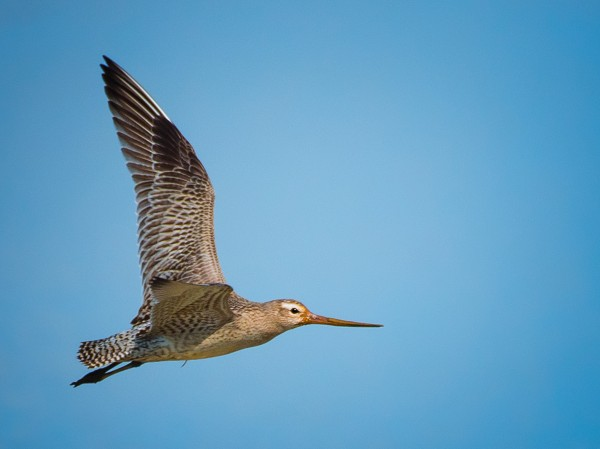 Record-Breaking Godwit Bird Flies from Alaska to New Zealand Non-Stop, Traversing 7,500 miles for 11 Days