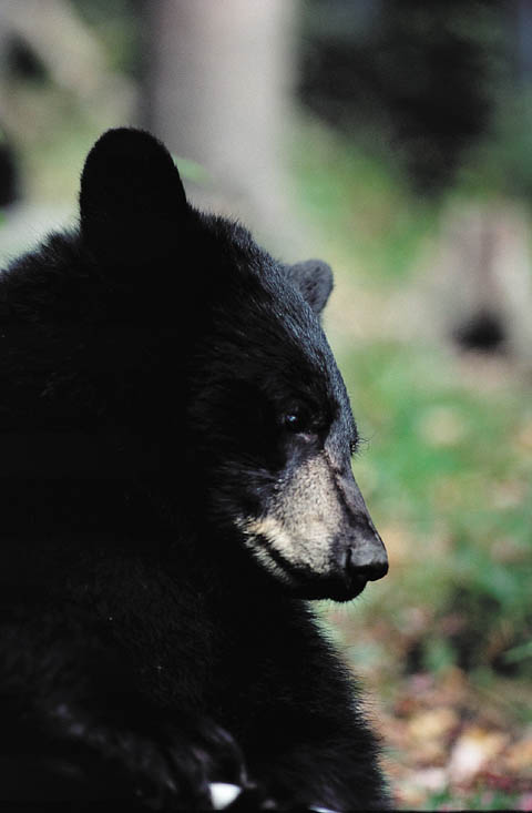 Virginia Tourist Charged for Feeding Tennessee Black Bear in a TikTok Viral Video