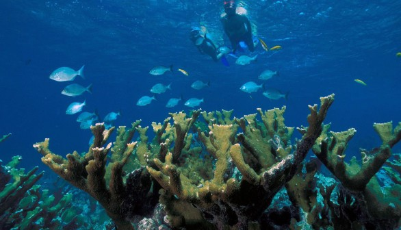 Study Discovered that Elkhorn Corals Fight and Resist Reef Diseases Actively