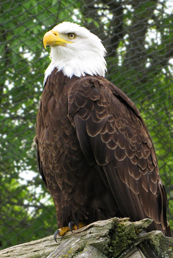 Bald Eagles: Rescued Eagles Got Treatment While Largest Eagles Gather in British Columbia