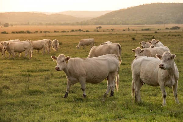 Rotational Grazing Resisted by Cattle Ranchers Due to Challenges Faced by Livestock Producers Regarding Labor and Water