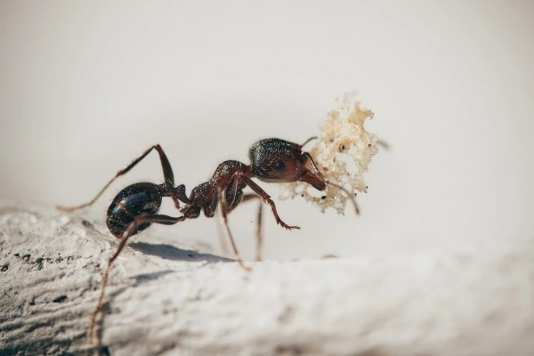 Ants Ingest Formic Acid to Disinfect Their Bodies Against Bacterial Infection